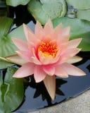 Oldrose lotos obrazy stock