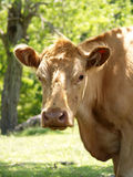 Ole Bessy. Good Old Bessy.  A Hobby Farmers Friend Royalty Free Stock Images
