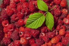 Ole leaf on Raspberry fruits Stock Photos