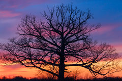 Ole Tree grande no por do sol Fotografia de Stock