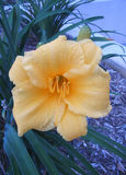 Ole' Yeller. Beautiful Day Lily Stock Image