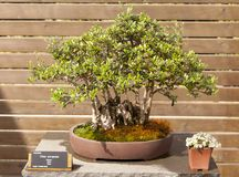 Olea europaea. Bonsai Olea europaea, olive or olive tree is an evergreen tree, long-lived royalty free stock photos