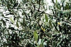 Olea europaea drzewa oliwnego liście leaf up zamknięty z światłem shinging przez śródziemnomorskiego rośliny drzewa obrazy stock
