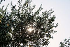 Olea europaea. An old tree on the island of Rhodos stock photography