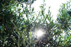 Olea europaea. An old tree on the island of Rhodos royalty free stock photo