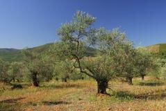 Olea europea, Allergens Plants stock image