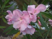 Oleandar blomma för Nerium Arkivbilder
