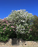 Oleander über Tor Lizenzfreies Stockfoto