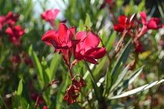 oleander στοκ εικόνες