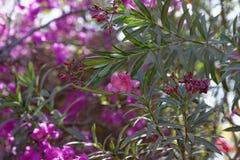 Oleander στο λουλούδι Στοκ Φωτογραφία