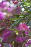 Oleander στο λουλούδι Στοκ εικόνες με δικαίωμα ελεύθερης χρήσης