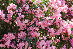 Oleander flowers Royalty Free Stock Photos