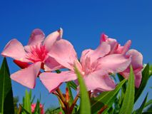 Oleander. A close up shot of oleander flowers, taken in mediterranean area Royalty Free Stock Photo