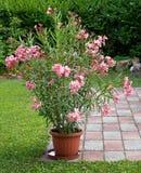 oleander Obraz Stock