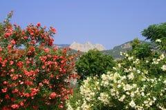 oleander Arkivfoto