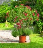 Oleander stock images
