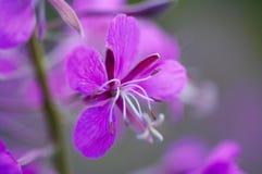 Oleander stock fotografie