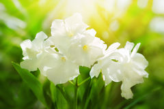 Oleander Royalty Free Stock Photos