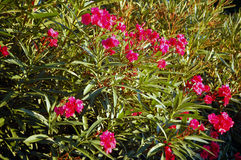 Oleander Stock Photos