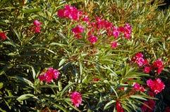 Oleander Fotos de archivo
