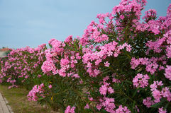 Oleander - από τα φάρμακα προϊόντων φύλλων του Στοκ εικόνα με δικαίωμα ελεύθερης χρήσης