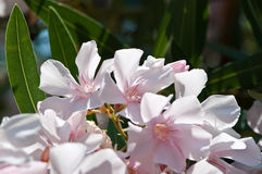 Oleander Royalty-vrije Stock Afbeeldingen