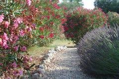 Oleander Royaltyfri Foto