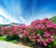Oleander Fotografia Royalty Free