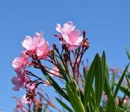 oleander Arkivbild
