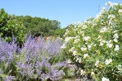 oleander Royaltyfri Bild