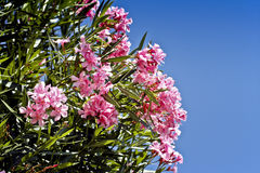 Oleander Fotografia Stock
