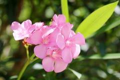 oleander Stockfotos