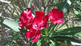 oleander Στοκ Εικόνα