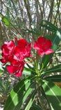 oleander Στοκ φωτογραφία με δικαίωμα ελεύθερης χρήσης