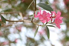 oleander Fotografia Stock Libera da Diritti