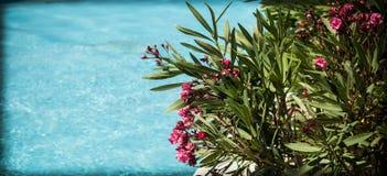 oleander Стоковое Изображение