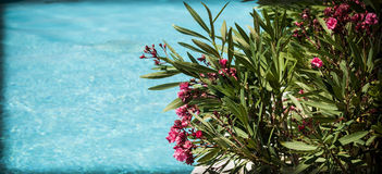 oleander Immagine Stock