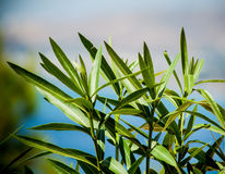 oleander Стоковые Фото