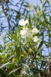 Oleander royalty-vrije stock foto