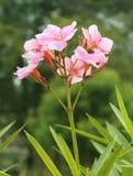 oleander Imagens de Stock Royalty Free