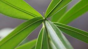 oleander Imágenes de archivo libres de regalías