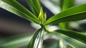 oleander Royalty-vrije Stock Foto's