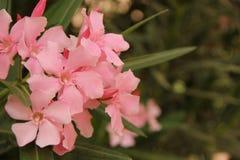 oleander Στοκ εικόνες με δικαίωμα ελεύθερης χρήσης