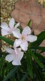 oleander Fotografering för Bildbyråer