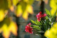 oleander royaltyfria bilder