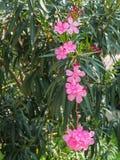 oleander Fotografie Stock