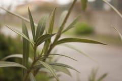 oleander Stock Afbeeldingen