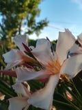 oleander Stockbild