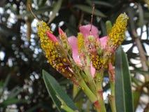 Oleander aphids in oleander plant Stock Photo