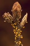 Oleander aphids που επιτίθεται σε έναν οφθαλμό Στοκ φωτογραφία με δικαίωμα ελεύθερης χρήσης
